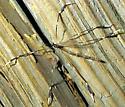 Beautiful Phantom - Bittacomorpha clavipes - male
