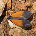 Orange Patched Smoky Moth - Pyromorpha dimidiata