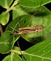 Crane Fly - Limnophila rufibasis - female
