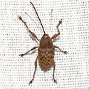 Pecan Weevil - Curculio caryae - female