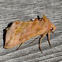 Dark-spotted Looper - Diachrysia aereoides