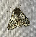 Harris' Three-spot - Harrisimemna trisignata