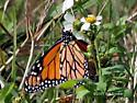Monarch on Shepard's Needle - Danaus plexippus