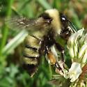 Bombus pennsylvanicus? (or fervidus?) - Bombus fervidus - female