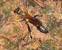 Sceliphron caementarium - Black and Yellow Mud Dauber? - Sceliphron caementarium