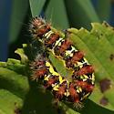 cool caterpillar - Acronicta oblinita