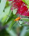Assissin Bug ? - Zelus longipes