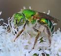 large green sweat bee Agapostemon? - Agapostemon