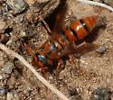 Wasp in soil - Leptochiloides