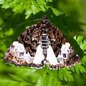 Multi-color Moth - Annaphila casta