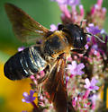 Large Bee - Megachile sculpturalis