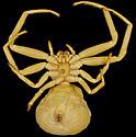 Goldenrod Crab Spider, ventral - Misumena vatia - female