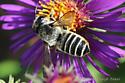 Bee sp - Megachile
