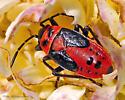 False Milkweed Bug  - Lygaeus