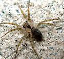 Wall Spider - Oecobius navus - male