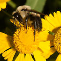 Bombus griseocollis - Brown-belted Bumble Bee? - Bombus griseocollis