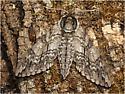 7787, Waved Sphinx, Ceratomia undulosa - Ceratomia undulosa