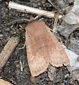 Straight-toothed Sallow - Eupsilia vinulenta