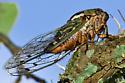 Some kind of cicada? - Megatibicen resh