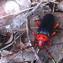 red legged cerambycid - Stenaspis verticalis