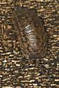 5016866 - Trachelipus rathkii