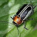 Leaf Beetle, sp - Pachybrachis circumcinctus