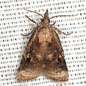 Omnivorous Leaf-roller Moth - Hodges #3736 - Platynota stultana