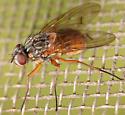 muscid fly - Phaonia subventa - female