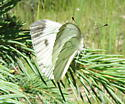 Margined White - Pieris marginalis