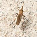 Mosquitoe - Coquillettidia perturbans