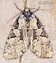 Leuconycta lepidula ? - Leuconycta lepidula
