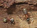 Ferruginous Carpenter Ant - Camponotus chromaiodes