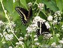 Black Swallowtail - Papilio polyxenes - male