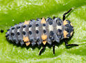 Seven-spotted Lady Beetle larva - Coccinella septempunctata