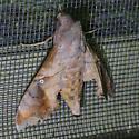 Texas SE Gulf Coast - Enyo lugubris - female