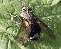 Tachinid Fly? - Epalpus signifer