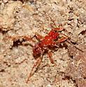 Bug Nymph - Rasahus