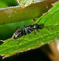 Ant - Camponotus pennsylvanicus - female