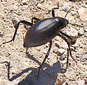 Black Desert Beetle (possible Eleodes sp?) - Eleodes