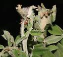Olethreutinae, lead plant - Hystrichophora taleana