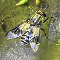 Dipterid - Chrysops callidus - female