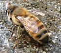 Honey Bee - Apis mellifera