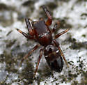 Jumping Spider - Synageles