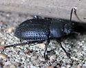 Black Texturey Beetle - Alaetrinus minimus