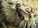 Bee Fly? - Thevenetimyia