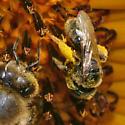 small colorado native bee - Pseudopanurgus