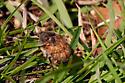 Unidentified Insect - Euphoria inda