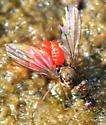 longlegged fly - Thinophilus