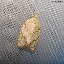 Oak Leafroller - Argyrotaenia quercifoliana