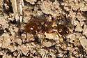 3031823 ant - Solenopsis geminata - female